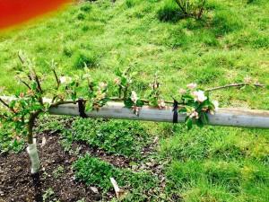 Orchard.9