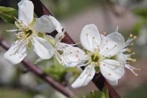 blossom.2