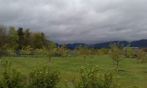 Orchard.1
