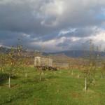 orchard.22